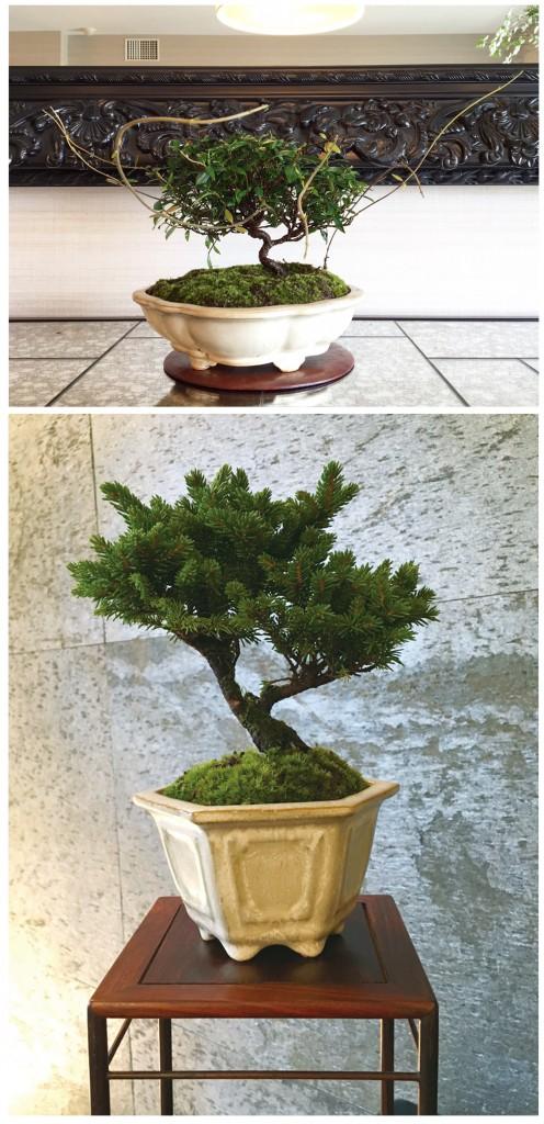上:定家葛(テイカカツラ・生徒様作品) 下:蝦夷松(エゾマツ・垂見作品) カリンの飾り棚に盆栽が映えます
